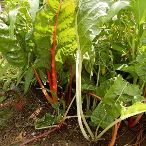 スイスチャード、真夏でも収穫可能なカラフル葉物野菜