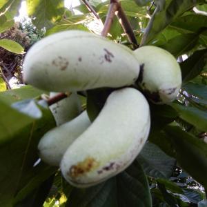 庭植えの果樹「ポポー」の収穫
