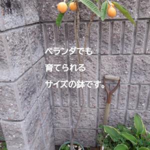 食べたビワの種から育てたビワを収穫 ベランダでも育てられる小さな鉢