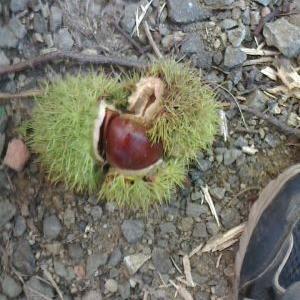 栗が落ちる季節になりました。
