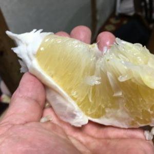 久しぶりに晩白柚をいただきました!