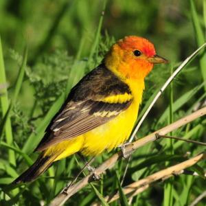 アメリカ西海岸で見られる黄色い鳥5選まとめ!!幸せの黄色い鳥も意外とそばに♬