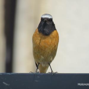 オレンジ色の鳥?身近に見られるオレンジ色のお腹を持つ野鳥5選まとめ!!