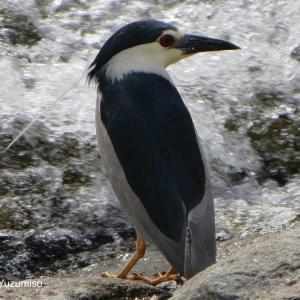 川や池に居るサギの種類は?身近に見られるサギ科の野鳥5選♬