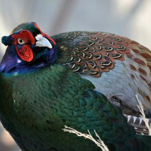日本の国鳥はキジ、では世界各国の国鳥は??フランスの国鳥は意外なあの鳥!!