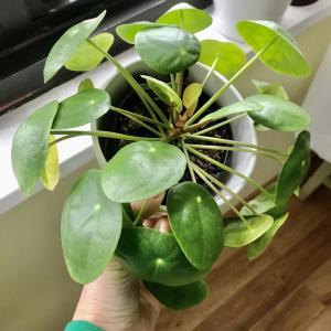 夏に買った癒し観葉植物がどんどん大きくなってきてる。ピレア・ペペロミオイデス 。