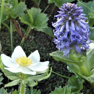 白馬岳~④栂池自然園やお花畑で出会えた高山植物