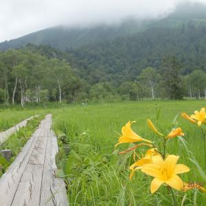 山に想う~夏の尾瀬 ③シカがニッコウキスゲの芽を食べる