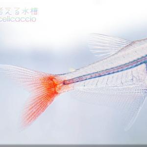影のない魚 ~グラスブラッドフィン~