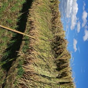 稲刈り最盛期