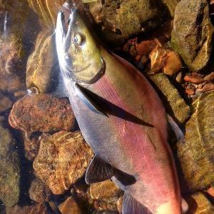 北海道 屈斜路湖の釣り 20201017 / 釣った事がない魚狙い
