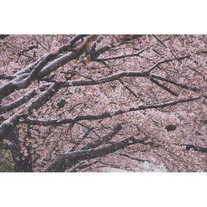 東京で桜に雪が降った日