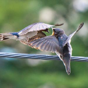 子ツバメが渡りに備えて飛ぶ練習を始めたようです【ツバメへの愛を込めて】