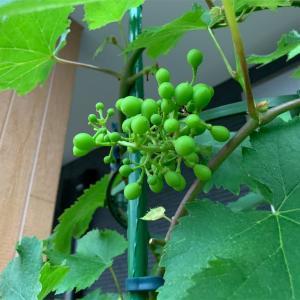 ブドウの実が膨らんできました