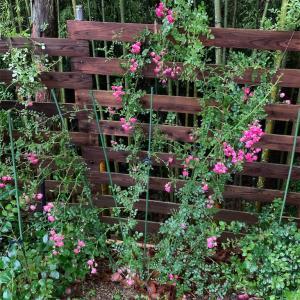 地植えミニバラの開花