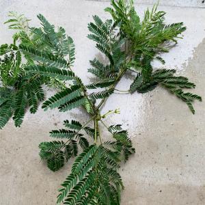 ネムノキの挿し木