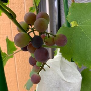 ブドウがさらに色づいてきています