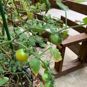 やっとミニトマトらしくなりました