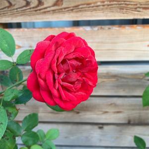 ちゃんとバラも咲いてますよ