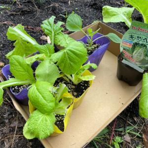 白菜のプランター栽培