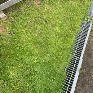 グランドカバーの草引き