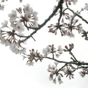 モノクロームな桜と空