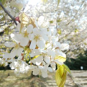 春の味 & コロナの影響いろいろ