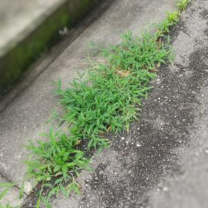 除湿剤の水で雑草駆除
