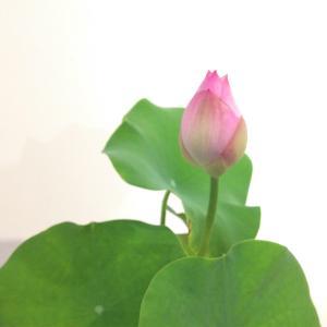 お盆のお花~蓮の花とほおずき