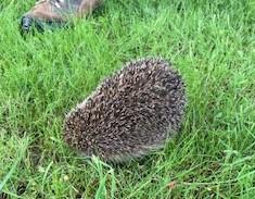 庭でケガしたハリネズミを見つけました・・・・(TОT)