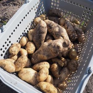 【ジャガイモ】逆さ植えの収穫サイズは大きい