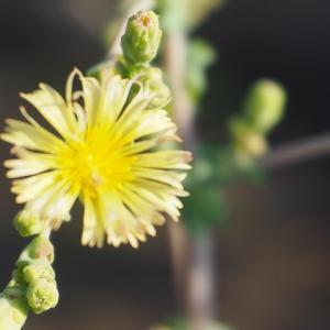 【サニーレタス】咲いた花は菊のように美しい