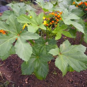 【オクラ】初収穫と成長記録