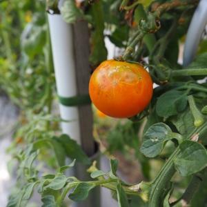 【トマト】片付けと黒マルチメリット・デメリット