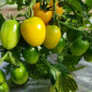 【トマト】色づくまでの積算温度