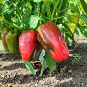 【パプリカ】昨年より1ヶ月早い収穫