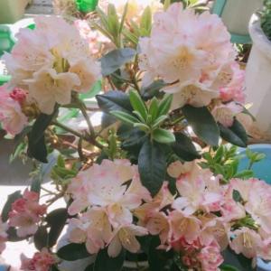 ベランダで家庭菜園&お花を育てる父はスゴイなー!!