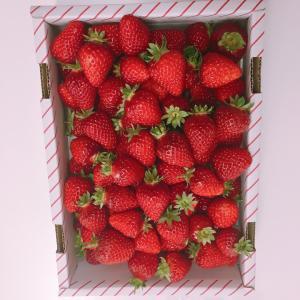 箱いっぱいのイチゴに大満足 季節の果物って最高
