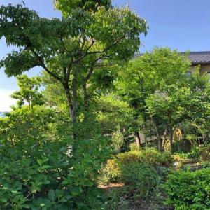 アカマツ、ヤマボウシ、エゴ、モミジなど沢山の樹木が植えてある庭の剪定