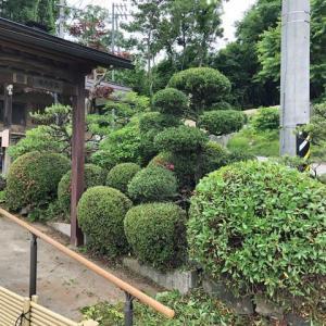 全体に玉造りで纏めた庭の剪定をしました。