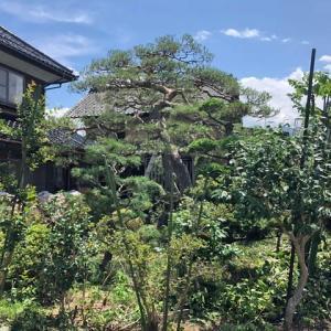 ボリュームのあるアカマツ2本がどっしりと構える庭の剪定