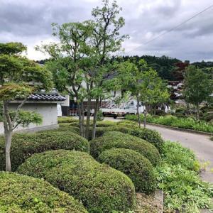 サツキが配置されたアプローチを入ると左側にアカマツが存在感を漂わせている庭園の剪定です。