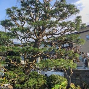 大きな糸ヒバが庭の入り口にあるお宅の剪定