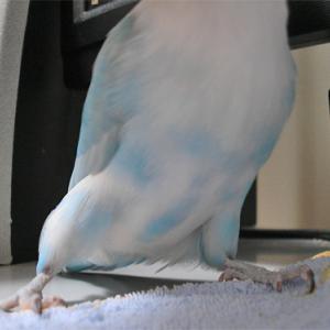 羽根色の変化