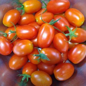 つれづれに書いてみました...朝採りトマト