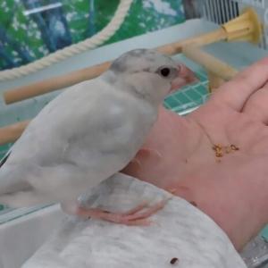 文鳥、荒鳥が手から餌を食べた!【放鳥4~7回目】