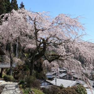 和束の桜再び≪和束 ~西願寺ほか≫