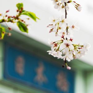 桜が満開の頃に
