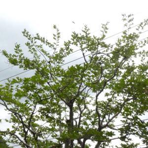 サルスベリの自然樹形剪定 | 広島県・山口県岩国市等で植木剪定は塩田剪庭園(・ω・)/