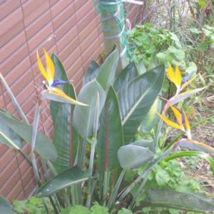 ストレリチア咲く。
